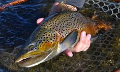 Nice colors on this brown trout on the fly. Fly Fishing Magazine, Country Girl Tattoos, Country Music Quotes, Brown Trout, Best Fishing, Find Picture, Architecture Art, Tattoo Quotes, Girl Sayings