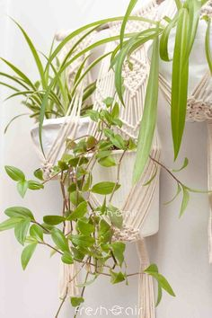 Looking for beautiful indoor plant decor ideas? Here are some beautiful hanging plant ideas that you can try to make your home gorgeous this holiday season! Indoor Gardening, Indoor Plants, Lipstick Plant, Natural Air Purifier, Cactus Care, House Plant Care, Gardening For Beginners, Hanging Planters, Plant Decor