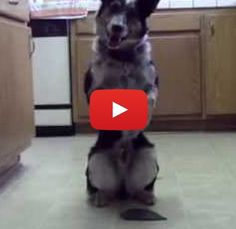 Incredibly well-trained dog shows how obedient and athletic he is