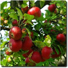 From Fruitarians Favorites! By rafischatz http://j.mp/1U6al9i #fruitarian #fruitarians #fruit #Fruitarian's Favorites #fruit #fruitarian fruitarians.net  fb.me/fruitarians  @fruitarians