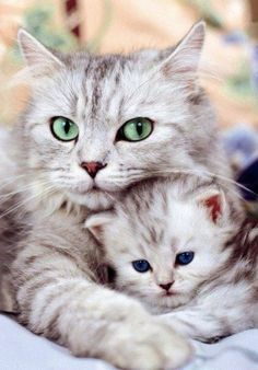 Cute Cats and Kittens Cute Cats And Kittens, I Love Cats, Crazy Cats, Kittens Cutest, Pretty Cats, Beautiful Cats, Animals Beautiful, Gorgeous Eyes, Cute Baby Animals