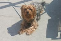 LOST PET ALERT: Lost dog in Jamaica, NY! Please pin this and help us find Rusty!