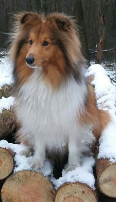 Luna #ShetlandSheepdogPuppy