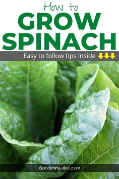 Spinach is one of the leafy greens that is quite easy to grow. Learn easy to follow tips for growing spinach.  #howtogrowspinach #growingspinach #spinachgrowingtips Growing Spinach, Growing Veggies, Gardening For Beginners, Gardening Tips, Inside Garden, Diy Garden Projects, Garden Care, Garden Inspiration, Container Gardening