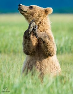 Praying for some Fish today, a Picnic basket would be awesome too Thanks. Animals And Pets, Baby Animals, Funny Animals, Cute Animals, We Bear, Bear Cubs, Ours Grizzly, Grizzly Bears, Photo Animaliere