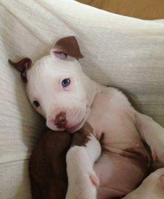 adopter un pitbull 16