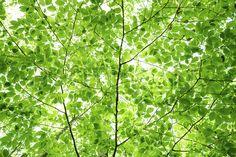 Wall of Fresh Leaves - Fototapeter & Tapeter - Photowall