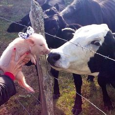 """Throwback to """"I kissed a cow, and I liked it!""""Unfortunately, not all of our farm friends are as lucky and me and Pop! Follow our friends @veganoutreach and learn how you can help!!! ❤️ #FriendsNotFood #TBT #vegetarian #FarmFriends #BabyPrissy #PrissyAndPop"""