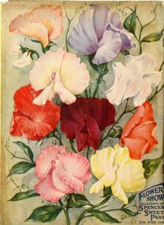 "Spencer Sweet Peas in a myriad of colors populate the back cover of the 1917 Farmer Seed & Nursery Co. catalog.  This illustration of the collection, aptly dubbed ""Flower Show,"" is nearly suitable for framing! Farmer Seed & Nursery originated in Faribault, MN in 1888. Andersen Horticultural Library hosts a collection of vintage Farmer Seed & Nursery catalogs."