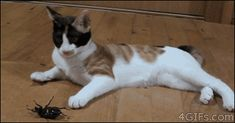 Funny Gif: Kitty Vs. Beetle