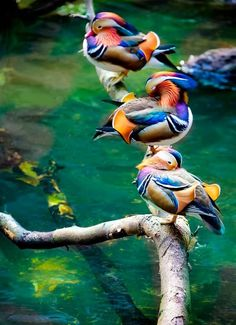 Wonderful world of feathered friends. Mongolian ducks. They're so beautiful. Such vibrant, gorgeous colors!!!