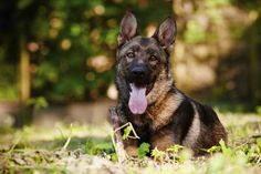 What Is the Difference Between the Alsatian & German Shepherd Dogs?