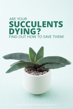 Succulents - Info on how to save them if they're over watered or under watered - Succulents and Sunshine