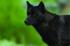 Pictures of black wolfs - Bing Images