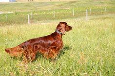 irish setter hunting dog.