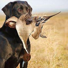 Popular Types of Hunting - HuntingTopic Grouse Hunting, Quail Hunting, Waterfowl Hunting, Pheasant Hunting, Duck Hunting Dogs, Bow Hunting Deer, Hunting Art, Rifles, Labrador Noir