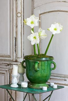 Amaryllis - Hippeastrum 'Christmas Gift' in green glazed container - © Clive Nichols/GAP Photos