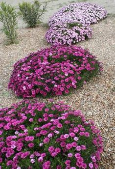 Create a gravel garden to beat the drought. Gravel gardening tips (walkway lights gravel path) Dry Garden, Gravel Garden, Garden Plants, Garden Landscaping, Pebble Garden, Gravel Path, Seaside Garden, Coastal Gardens, Drought Tolerant Landscape