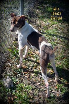 Milo is an adoptable Dog - Rat Terrier & Chihuahua Mix searching for a forever family near Mobile, AL. Use Petfinder to find adoptable pets in your area.