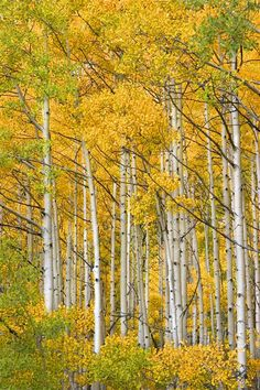 Original art for sale at UGallery.com | Ohio Pass Aspens by Abhi Ganju | photography | 36' h x 24' w