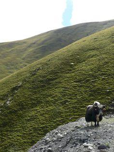 Staring at Yaks in Tibet.