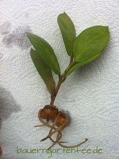 Blattsteckling von Zamioculcas zamiifolia 2013  www.bauerngartenfee.de/index.php/garten/blogging/zamioculcas-zamiifolia/