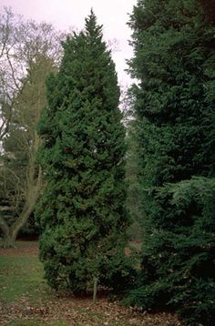 "RHS Plant Selector Juniperus chinensis 'Obelisk' / RHS Gardening. ""'Obelisk' is an evergreen conifer making a small tree of dense, irregularly columnar habit. Foliage dark blue-green, juvenile, with [sharply pointed] needle-leaves to 15mm in length."" 
