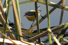 En busca del 7 colores.  #ave #bird #pajaro7colores #concon #viñadelmar #chile #valparaiso #plants #humedal #parqueecologicolaisla #laisla Chile, Animals, Islands, Colors, Animales, Chili, Animaux, Chilis, Animal