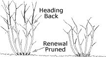 """Pruning Shrubs - after doing renewal pruning, will need to do """"heading back"""" of the remaining stems"""