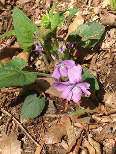 5/6 サクラスミレ  Viola hirtipes S.Moore  日本に咲くスミレの中では大きな花を咲かせる。別名「スミレの女王」と呼ばれる。「サクラ」の名の由来は、花弁の先端が桜のような切れ込みがあるためらしい ?? 実際は切れ込みの無い個体の方が多い。  花の色は、淡紫色から濃紫色。径2~3cm程と大型で華やかです。花弁全体に紫条の網目模様があり、側弁には毛が密生していて柱頭は隠れて見えない。距は丸みを帯びて太く無毛。花柄や葉柄、葉の基部には粗毛が見られます。  アカネスミレによく似ています。最大の相違点は、葉や葉柄、花柄、子房、距や種子に微毛が密集していればアカネスミレです。   九州方面では標高の高い草原にチラホラ見られますが、東北方面では平地の明るい林床に見られます。夏場の暑さに弱く、冬の寒さに強い性質を持っています。花後に出る葉柄は長く、夏葉も花時の2~3倍の大きさで、とてもスミレの葉とは思えません。