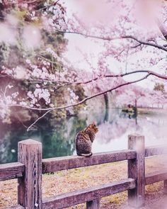 Japan is a beautiful country, but, as you're about to see, it is even more so during cherry blossom season. Château De Himeji, Wallpaper Paisajes, Beautiful World, Beautiful Places, Beautiful Pictures, Photo Rose, Cherry Blossom Season, Cherry Blossoms In Japan, Blossom Trees