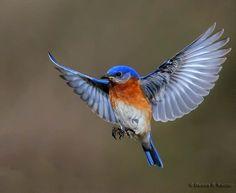 Eastern Blue Bird by Dennis Kaczor on 500px