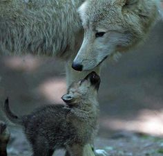 I love you Mom Grey Wolf #GreyWolf #Wolf #Wolves