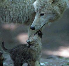 I love you Mom Grey Wolf #GreyWolf #Wolf #Wolves
