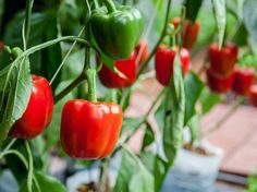 Growing peppers in your native soil: add at least 2 inches of aged compost across the planting bed and sprinkle with organic fertilizer, then turn Growing Capsicum, Growing Bell Peppers, Bell Pepper Plant, Pepper Plants, Pepper Tree, Nightshade Vegetables, Rogers Gardens, Easy Vegetables To Grow, Fresh Vegetables