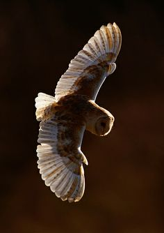 Barn Owl - This Barn Owl is turning to dive onto prey in Norfolk UK. Shot back lit on a bright morning to get the rim light and light through the wings.