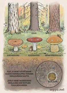 Puut ja sienet tekevät maanalaista yhteistyötä, keywords: puut koivu kuusi mänty sieni sienet sienijuuri karvarousku kuusihapero männynherkkutatti puunjuuri Lactarius torminosus Russula queletii Boletus pinophilus Betula Picea abies Pinus sylvestris piirros
