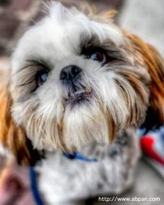 This Shih Tzu is positively gorgeous!