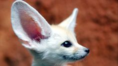 The Ultimate Collection of Baby Fennec Fox Pictures Fox Pictures, Fennec Fox, Wild Dogs, Animals Of The World, Exotic Pets, Exotic Animals, Cute Baby Animals, Spirit Animal, Pet Birds