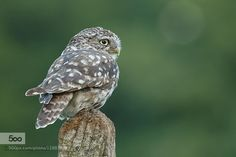 Little Owl by LouiseMorris. Please Like http://fb.me/go4photos and Follow @go4fotos Thank You. :-)