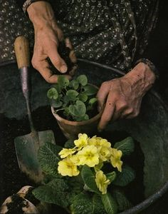 Photography by Richard W. Tasha Tudor's Garden, she loved Primroses. Richard Brown, How Beautiful, Beautiful Gardens, Beautiful Hands, Carl Von Linné, Patio Pergola, Backyard, Primroses, Gardening