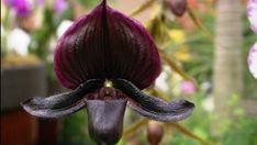 A fekete orchidea misztériuma: valóban létezik? Eggplant, Vegetables, Plants, Eggplants, Vegetable Recipes, Plant, Veggies, Planets