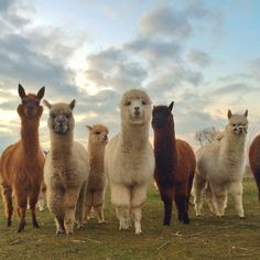 You Can Have A Picnic With 60 Alpacas On This Berlin Farm - This Berlin alpaca farm lets you play with 60 fluffy alpacas while having a nice lunch and explorin - Happy Animals, Farm Animals, Animals And Pets, Funny Animals, Alpacas, Cute Alpaca, Cute Little Animals, Animal Wallpaper, Softies
