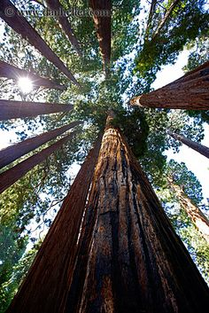 nation forest, california, road trips, giant redwood trees, beauti, place, redwood national forest, roads, national forests