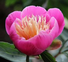 Bowl of Beauty - Herbaceous Peony/ Paeonia