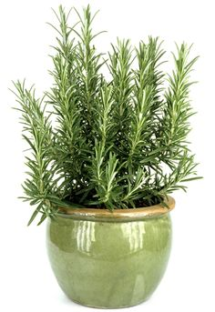 Herbs Gardening Growing rosemary in pots is occasionally a tricky thing to do. Many good gardeners have tried, and despite their best efforts, end up with a brown, dry, dead rosemary plant. Rosemary Plant Care, Rosemary Herb, Gardening For Beginners, Gardening Tips, Organic Gardening, Kitchen Gardening, Fairy Gardening, Indoor Gardening, Culture D'herbes