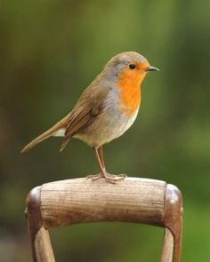 Robin on a spade - Big Garden Birdwatch - Big Garden Birdwatch - The RSPB Community Pretty Birds, Love Birds, Beautiful Birds, Animals Beautiful, Big Garden Birdwatch, Animals And Pets, Cute Animals, British Wildlife, Tier Fotos