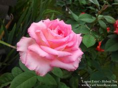 'Louise Estes' Hybrid Tea Rose Garden Bloggers Bloom Day – August 2012 | The Redneck Rosarian
