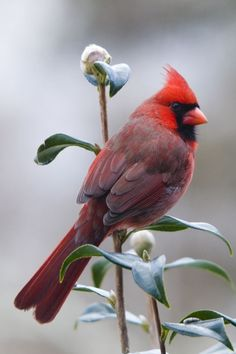 Redbird - my mother loved cardinals, the state bird of Kentucky: Animals Birds Cardinals, Cardinal Birds, Beautiful Birds, Beautifulbirds, Favorite Bird, Beautiful Cardinal, Red Birds