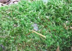 Live Woodland Moss Fresh Natural Green for by brambleoak on Etsy, $4.00
